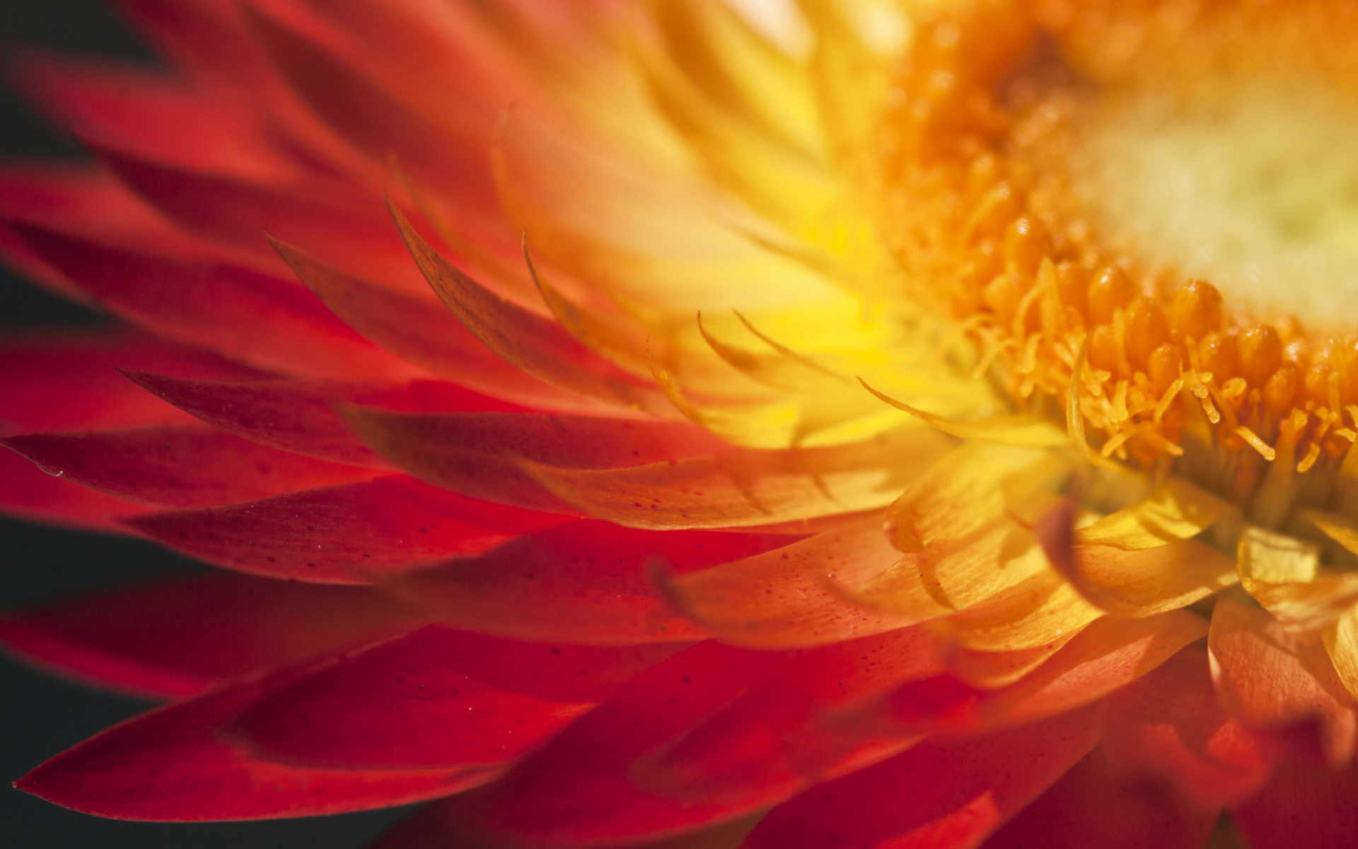 Sunshine in petals Wallpapers Pictures Photos Images. «