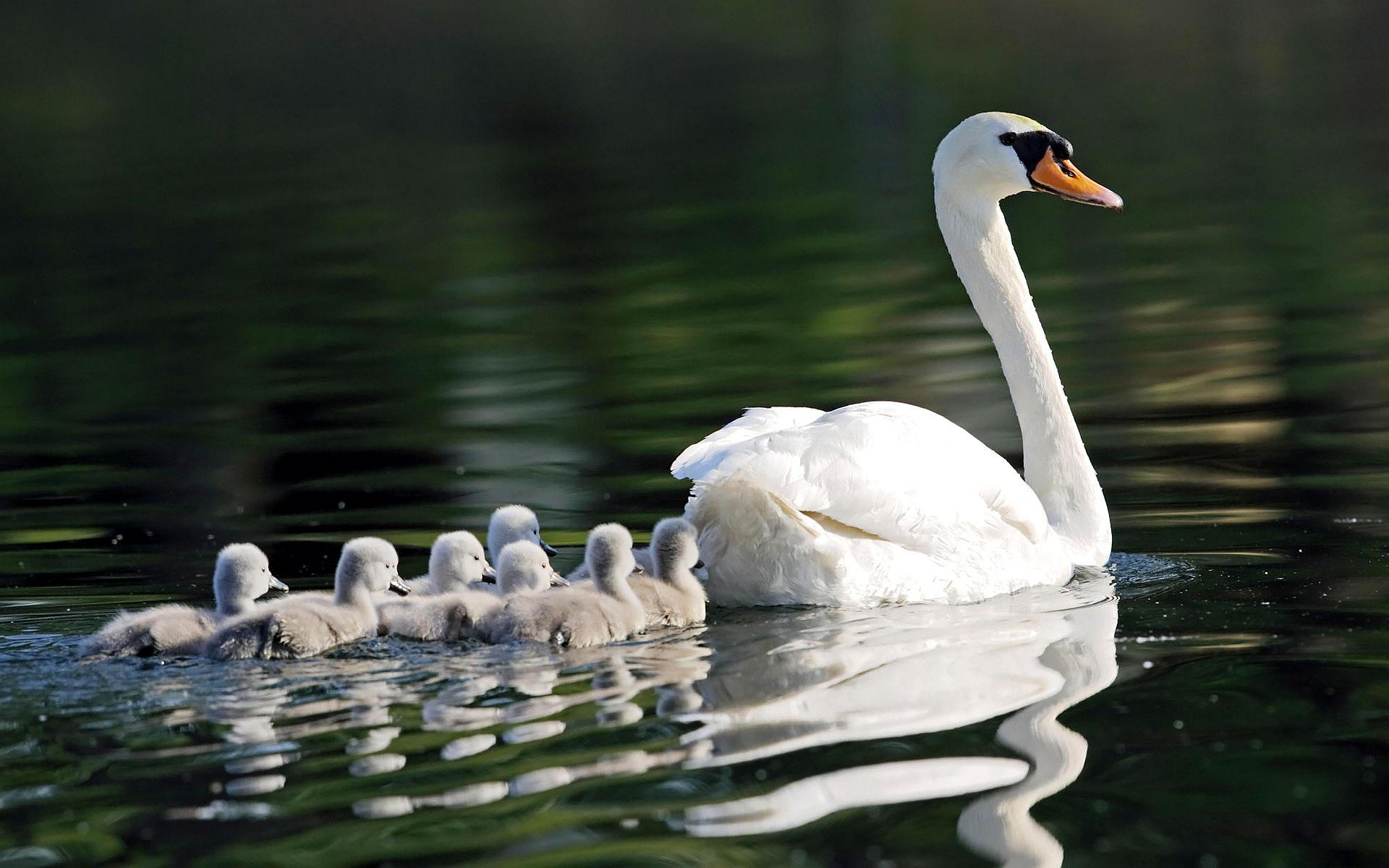 Swan Family Swim