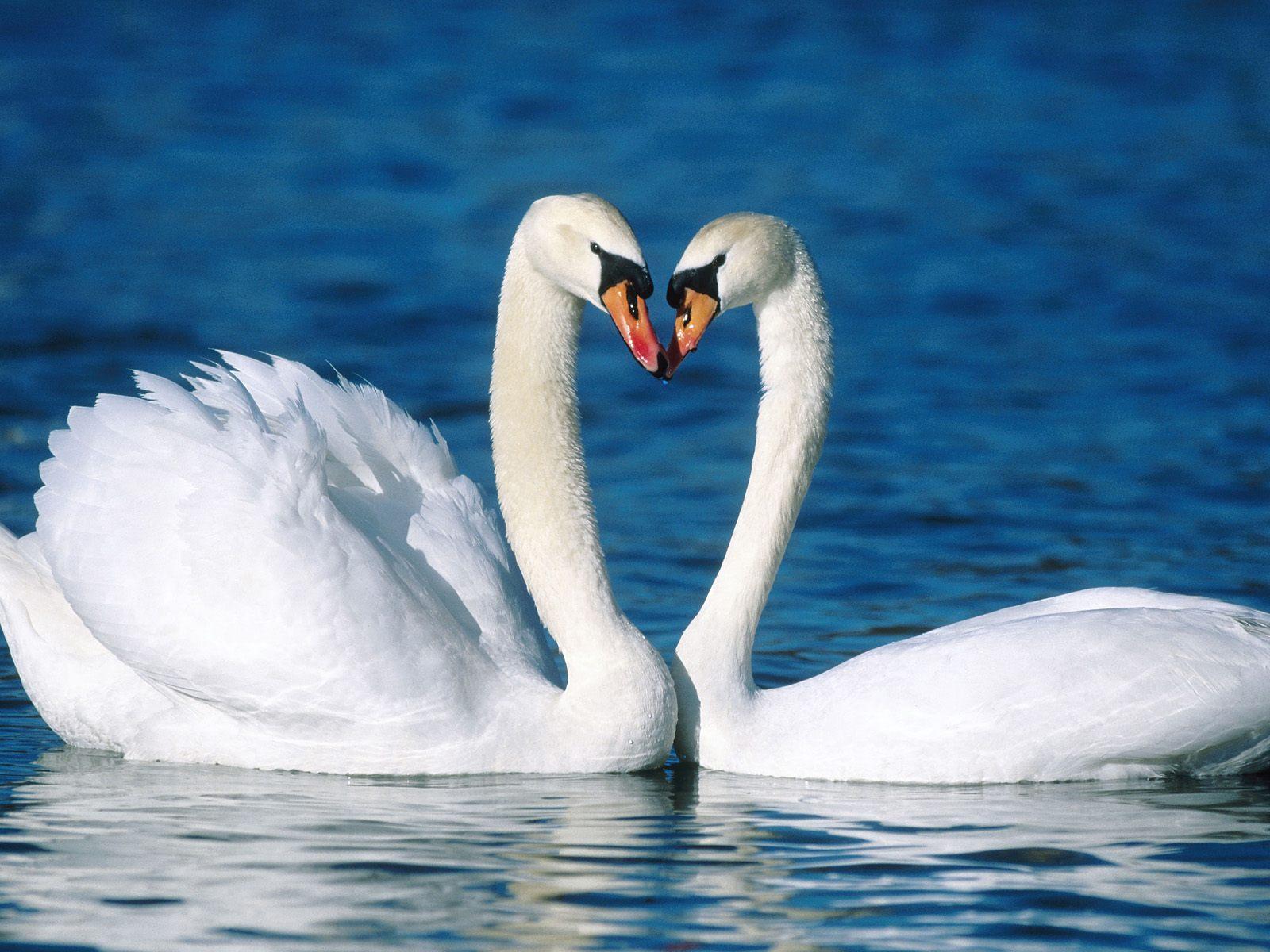 Swan birds love dance