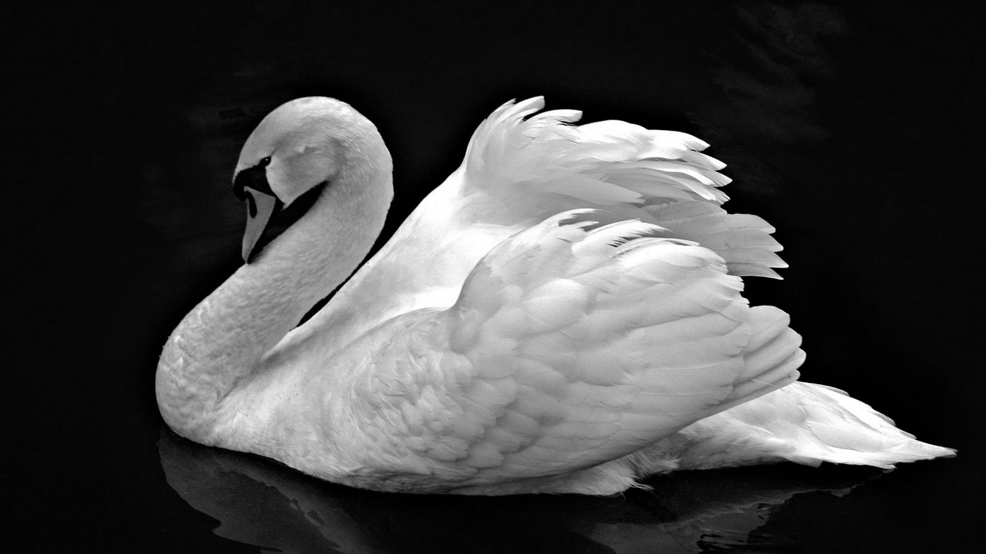 White Swan Photo Wallpaper #155149 - Resolution 1920x1080 px
