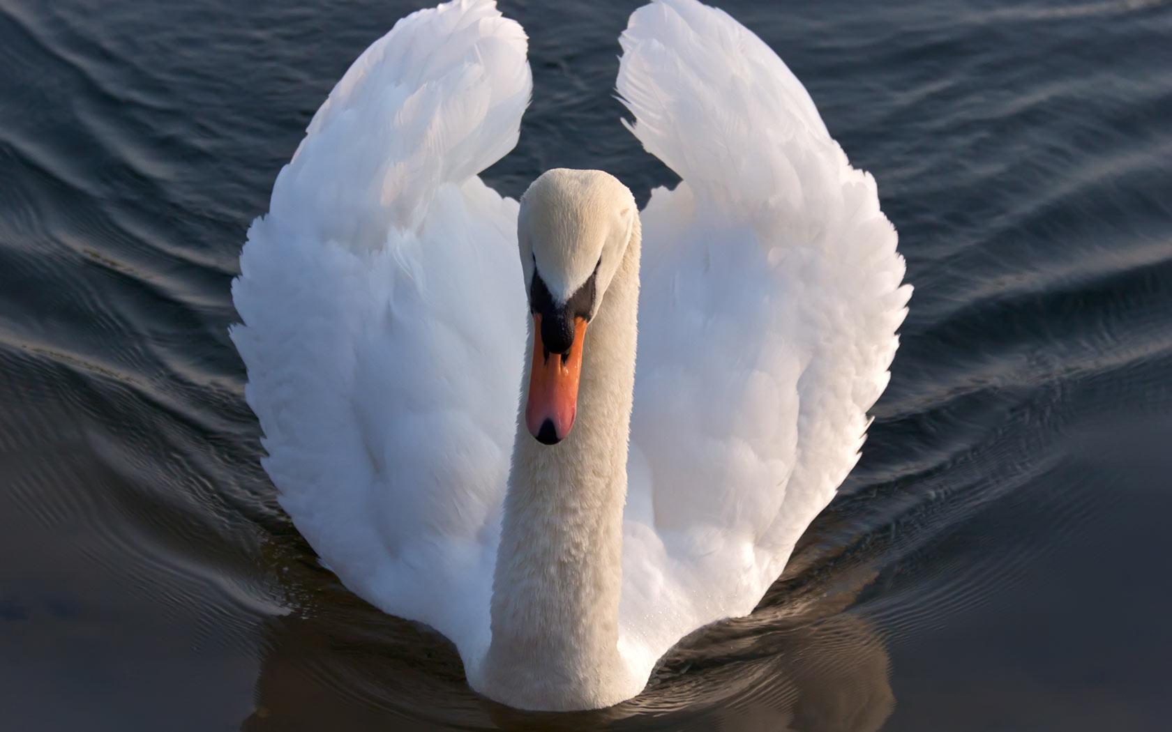 Swan In Lake wallpaper