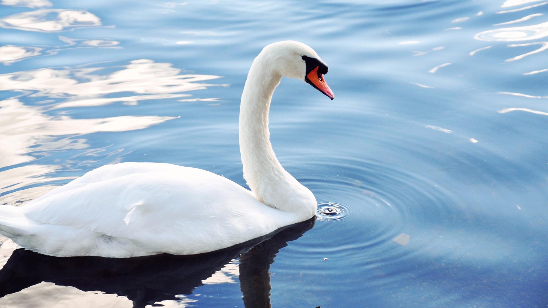 White Swan Bird Pond Animals Wallpapers