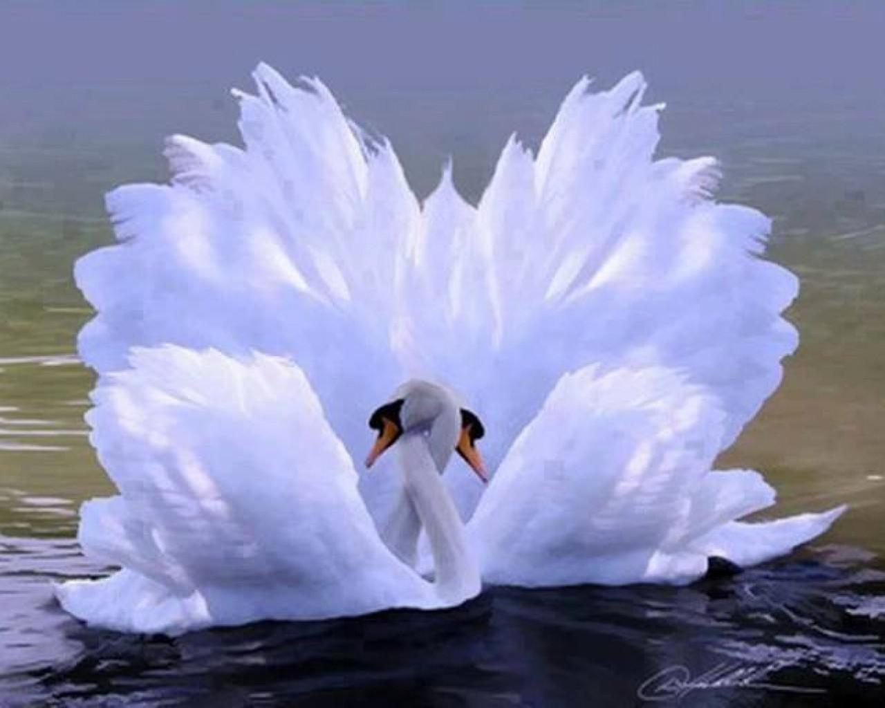 Swan love HQ WALLPAPER - (#141384)