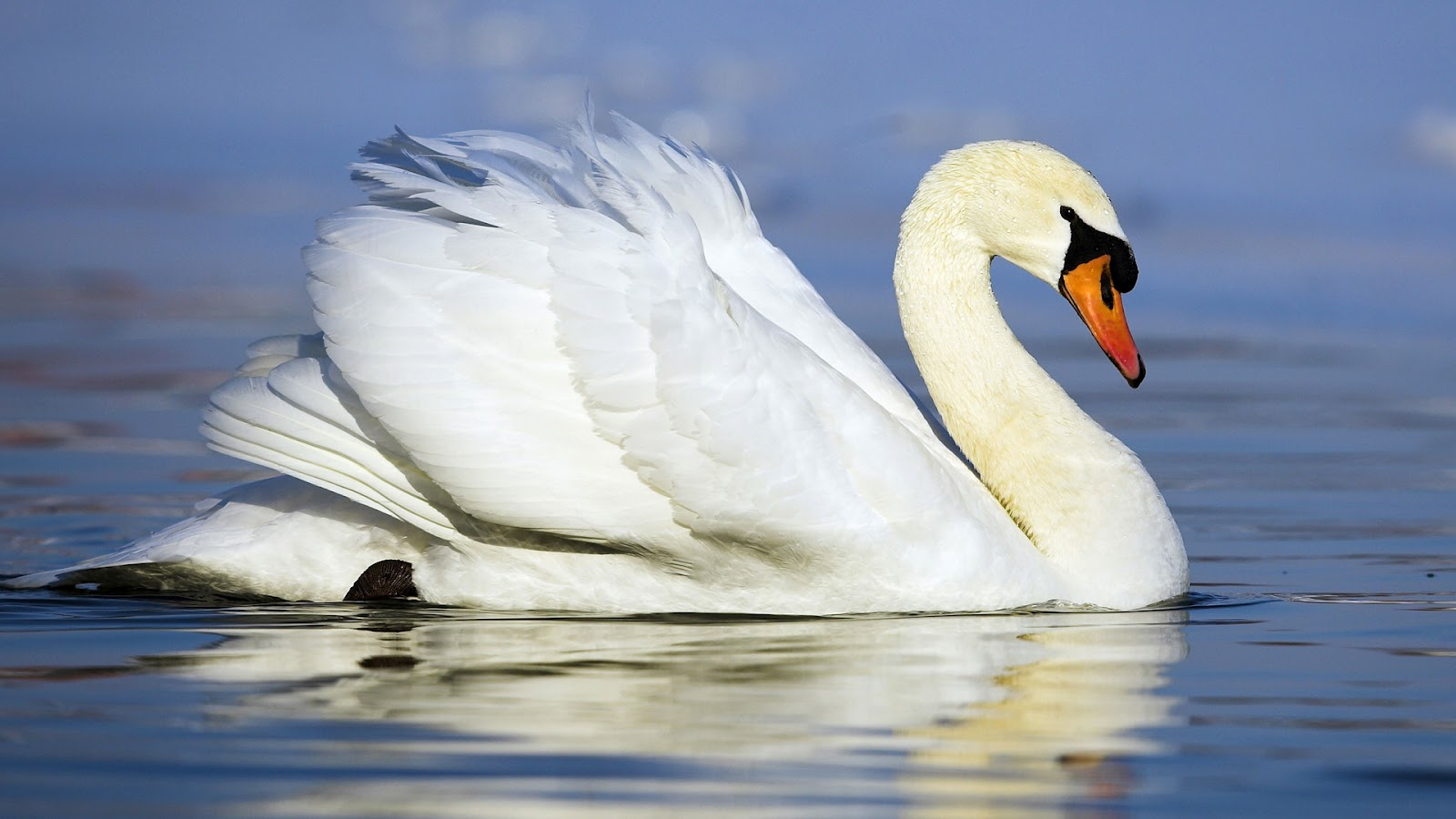 White Swans Wallpaper white swan swimming in the
