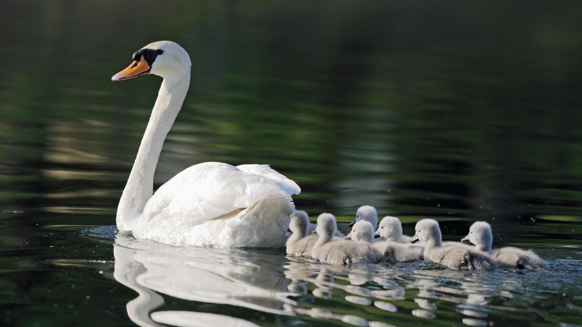 Swan 16155