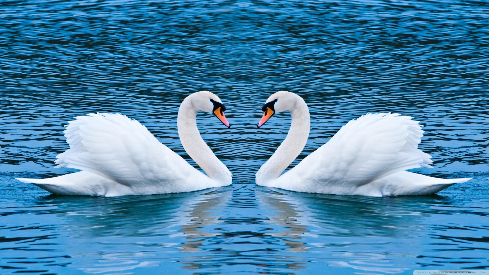 Swan HD
