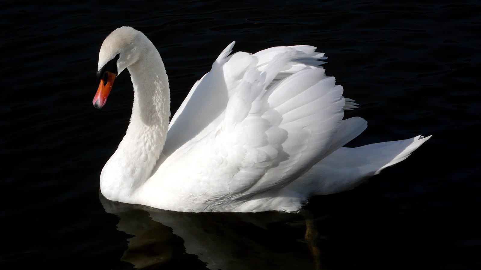 Swan wallpaper 14
