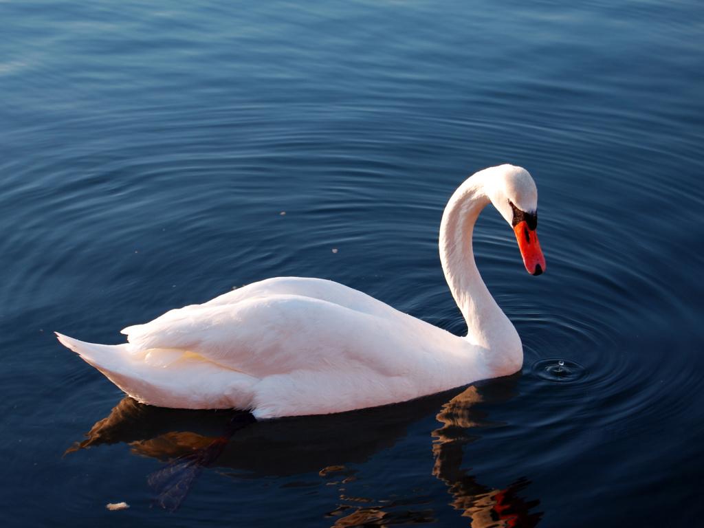 Swan Wallpaper 3627
