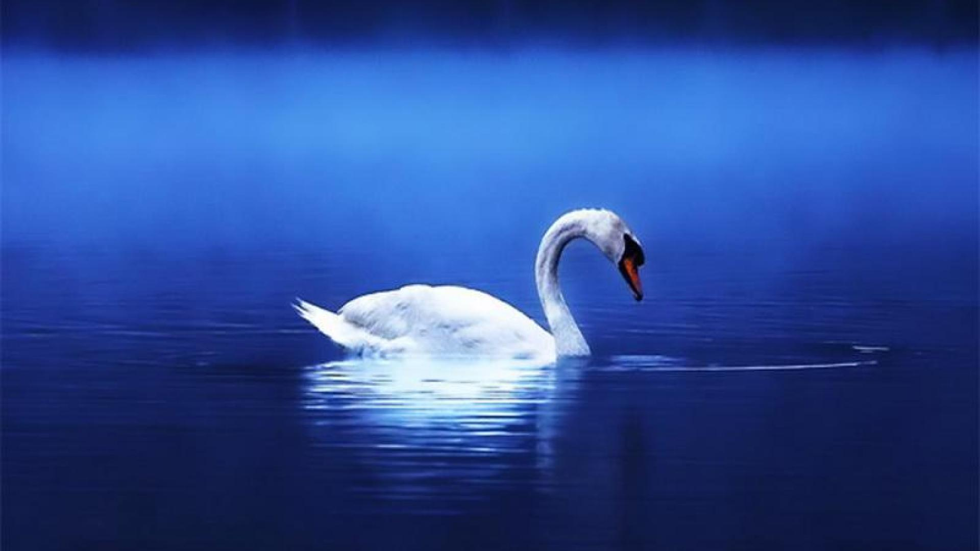 Wallpaper Tags: water lonely mirrored lake blue bird swan