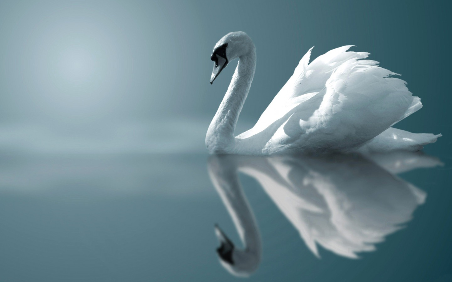 Swan - animals Wallpaper
