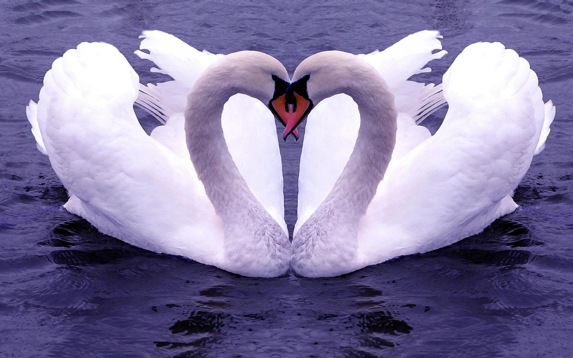Swan Wallpaper; Swan Wallpaper ...