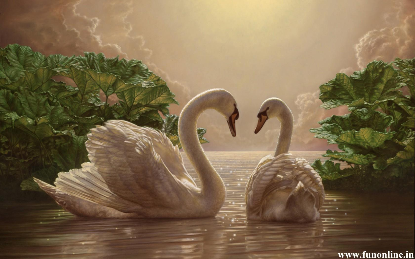 Loving Swan Pair Desktop Wallpaper