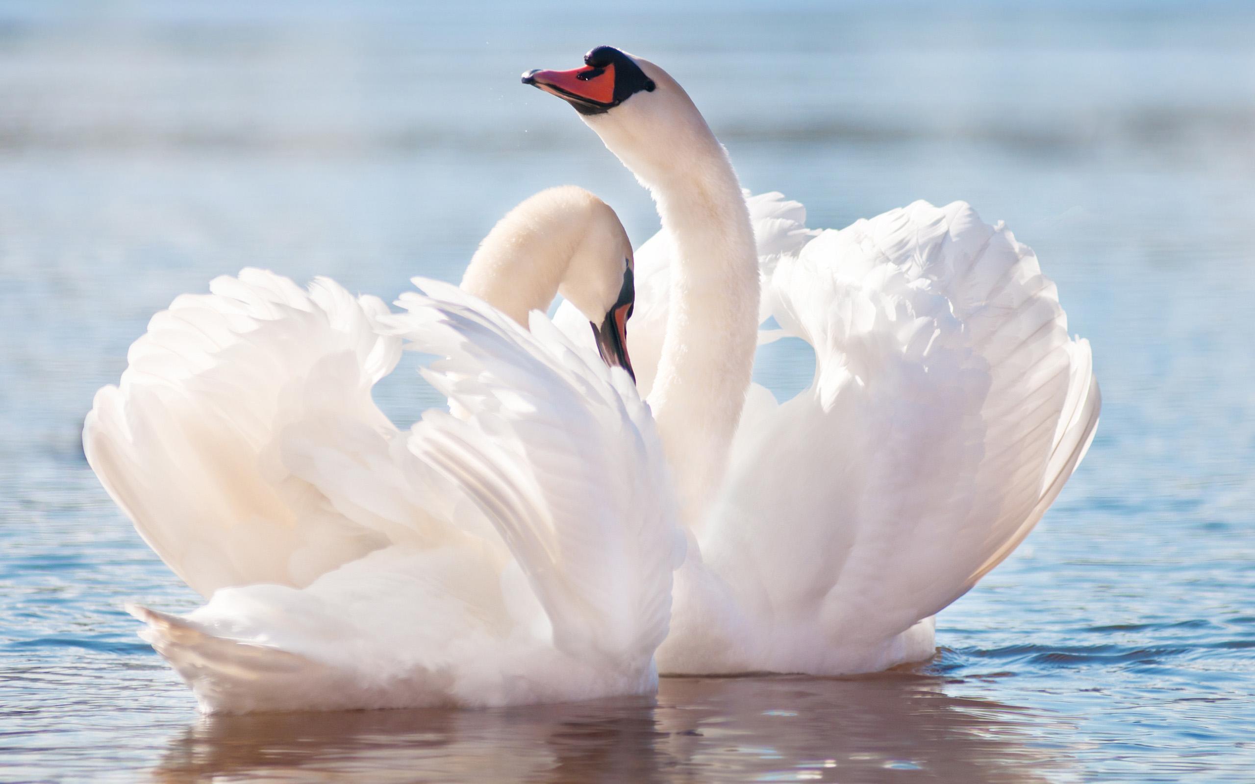 Animal - Mute Swan Wallpaper