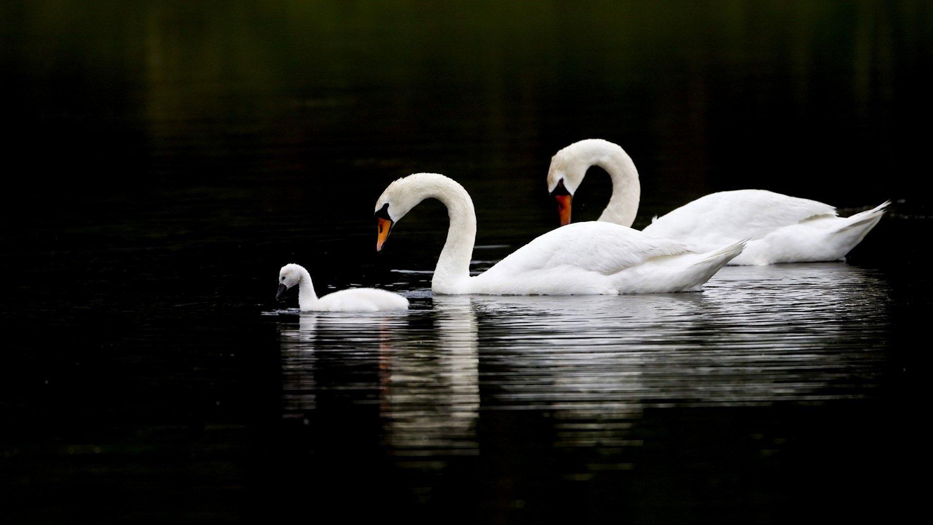 White Swan Wallpaper