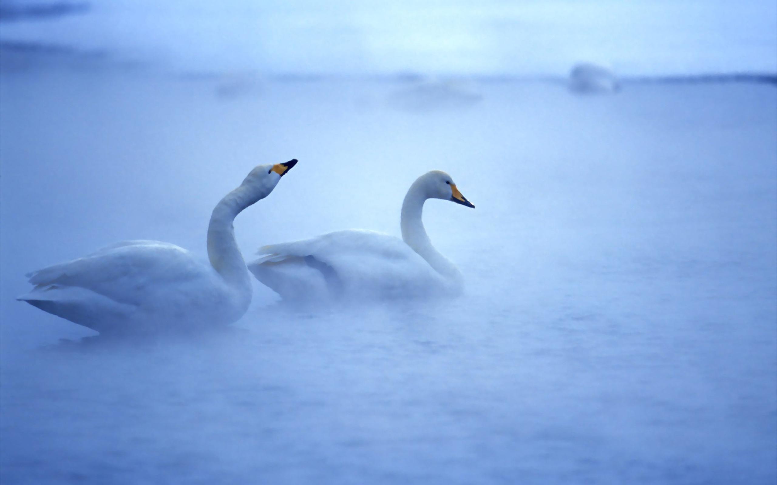 Swans Morning Fog