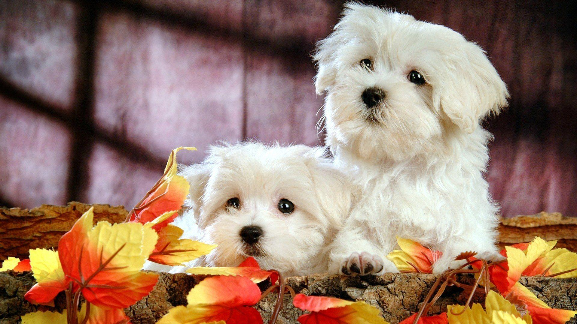 Download Free Wallpapers Backgrounds - Sweet White Puppies Dogs HD Wallpapers