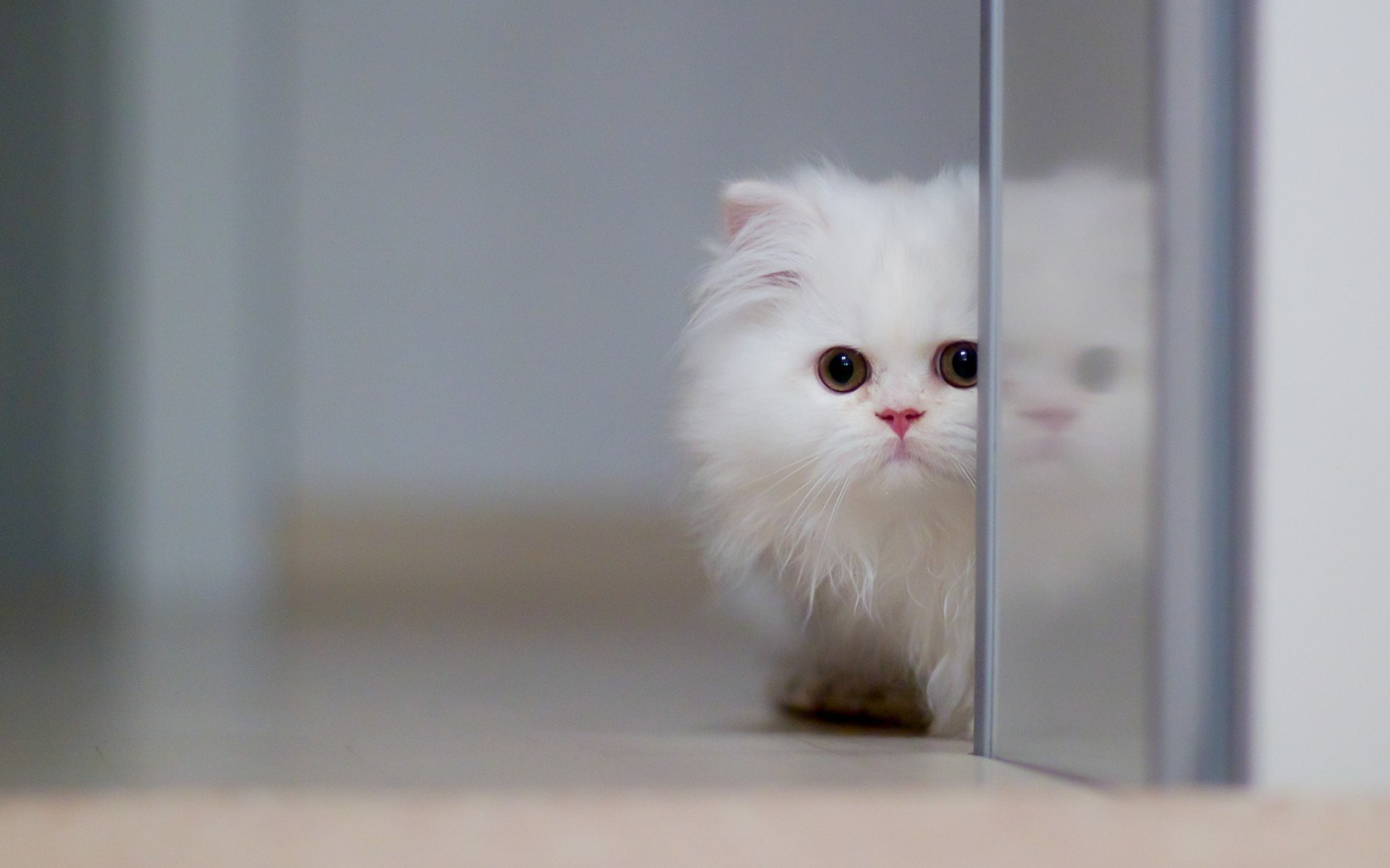 Download Sweet White Persian Kitten Photo wallpaper in Animals wallpapers with all resolutions: