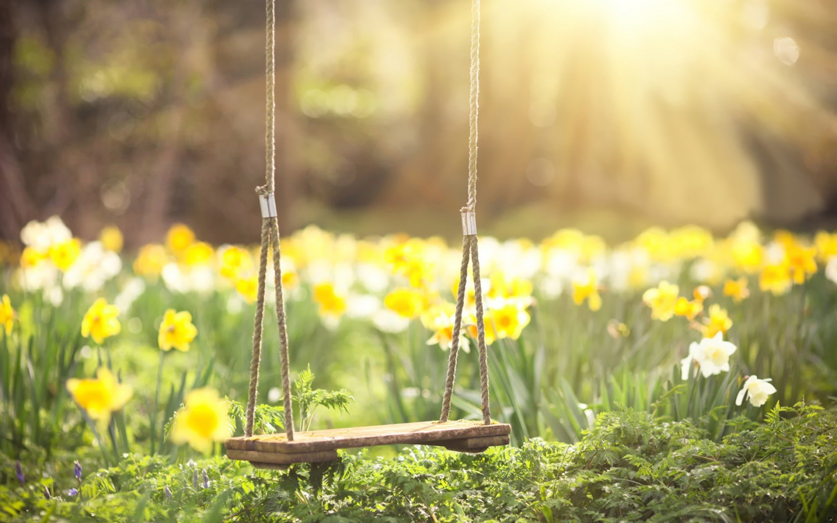 Spring Daffodils Flowers Swing HD Wallpaper