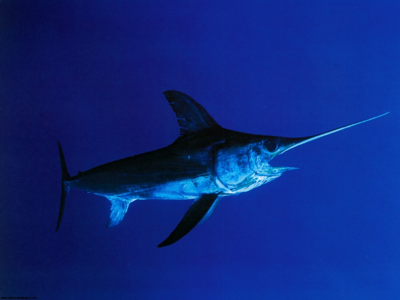 A swordfish impaled a Hawaiian fisherman after having been speared by the fisherman itself, state officials said on Saturday.