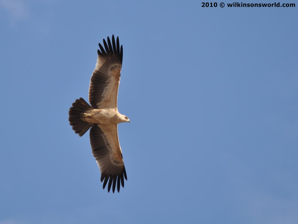 Tawny Eagle Bird
