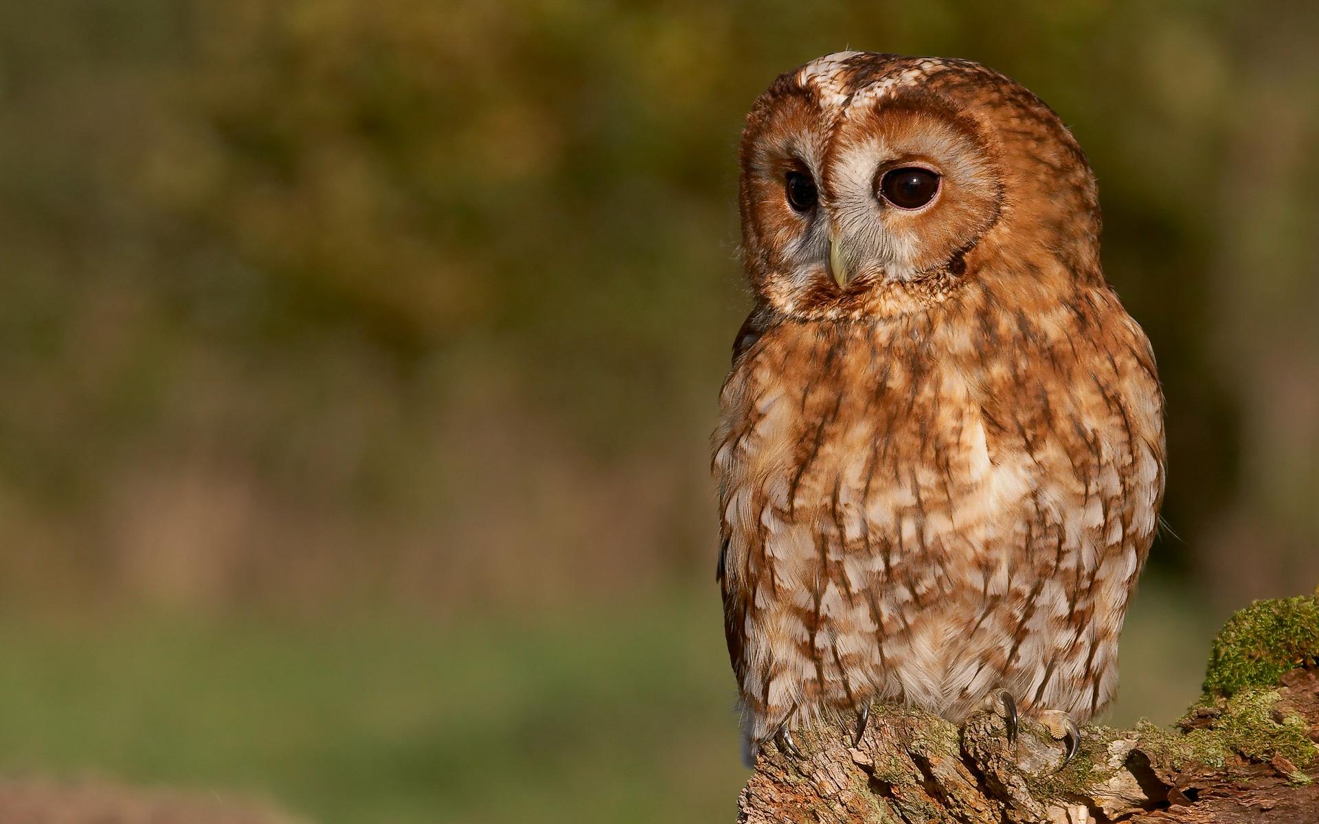 Tawny Owl Wallpaper by Photosbykev Tawny Owl Wallpaper by Photosbykev