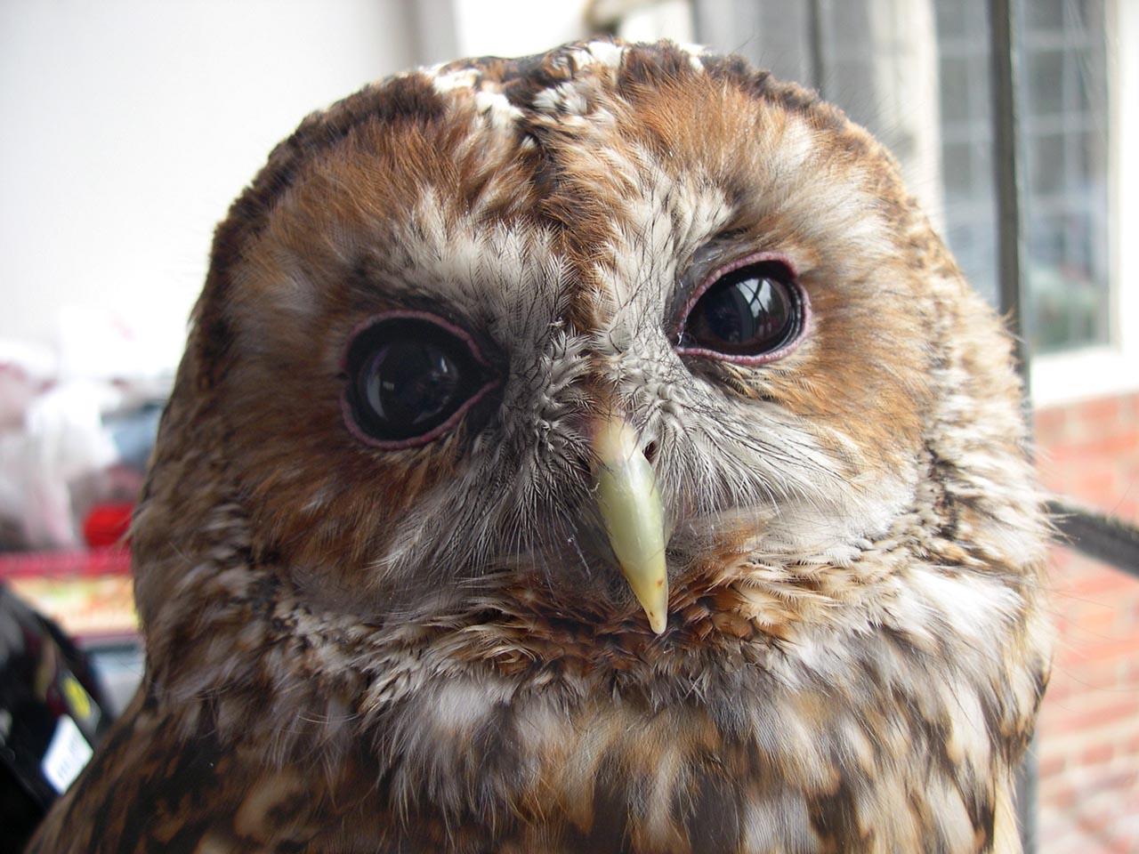 tawny owl, strix aluco, sita