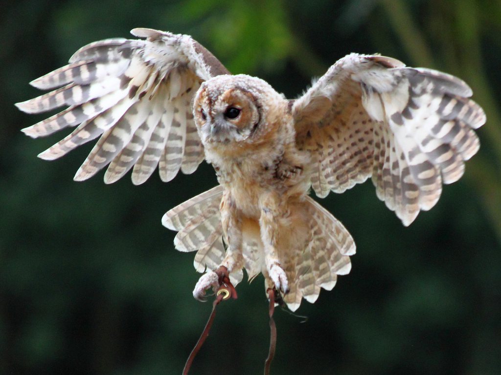 ... Young Tawny Owl in Flight | by mikepotter1064