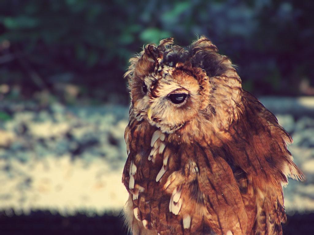 Tawny Owl by ColdEdge