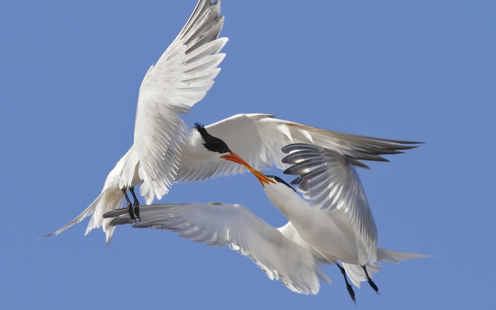 Terns Seabirds Kiss Love