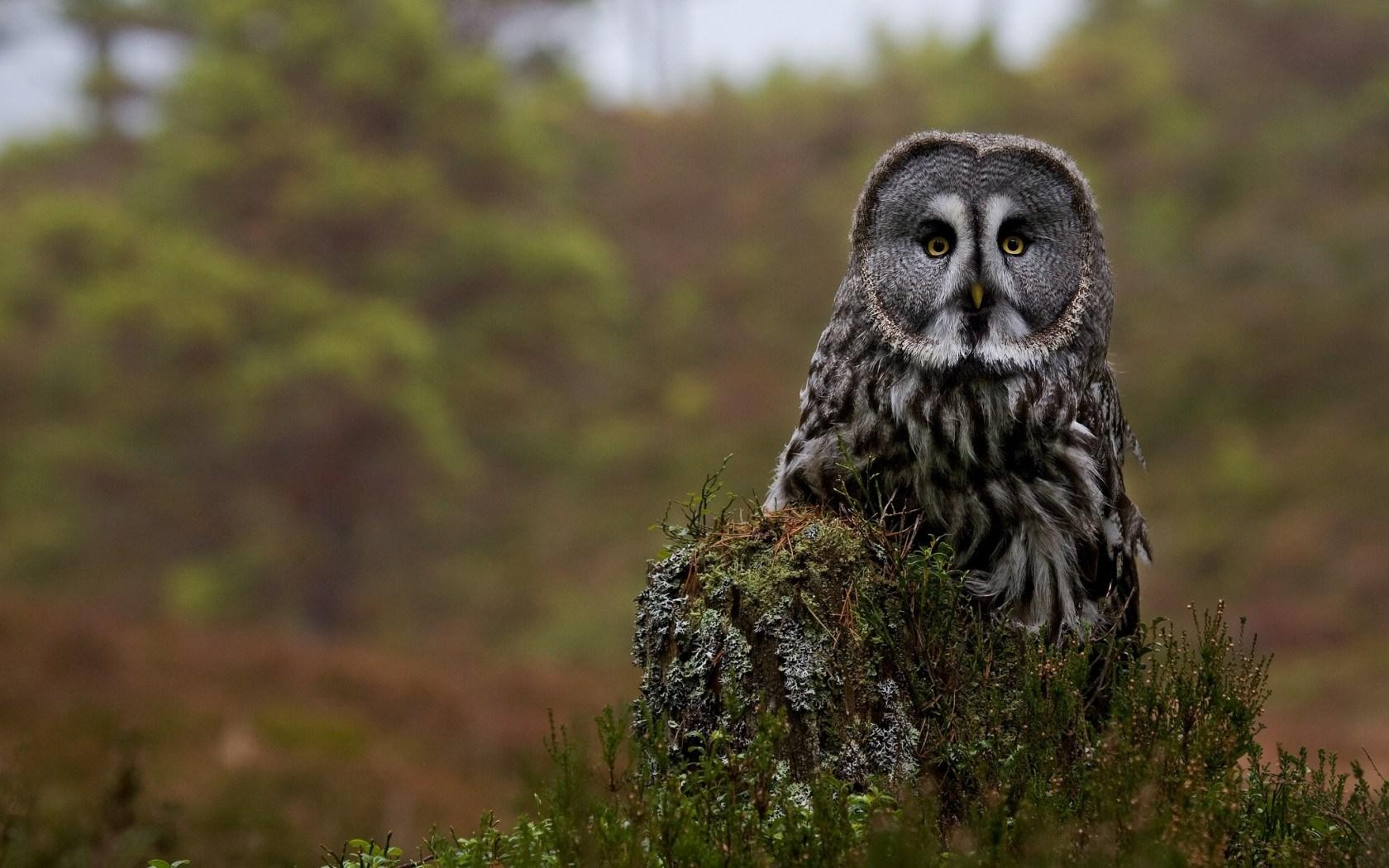 The Great Gray Owl Tree Stump