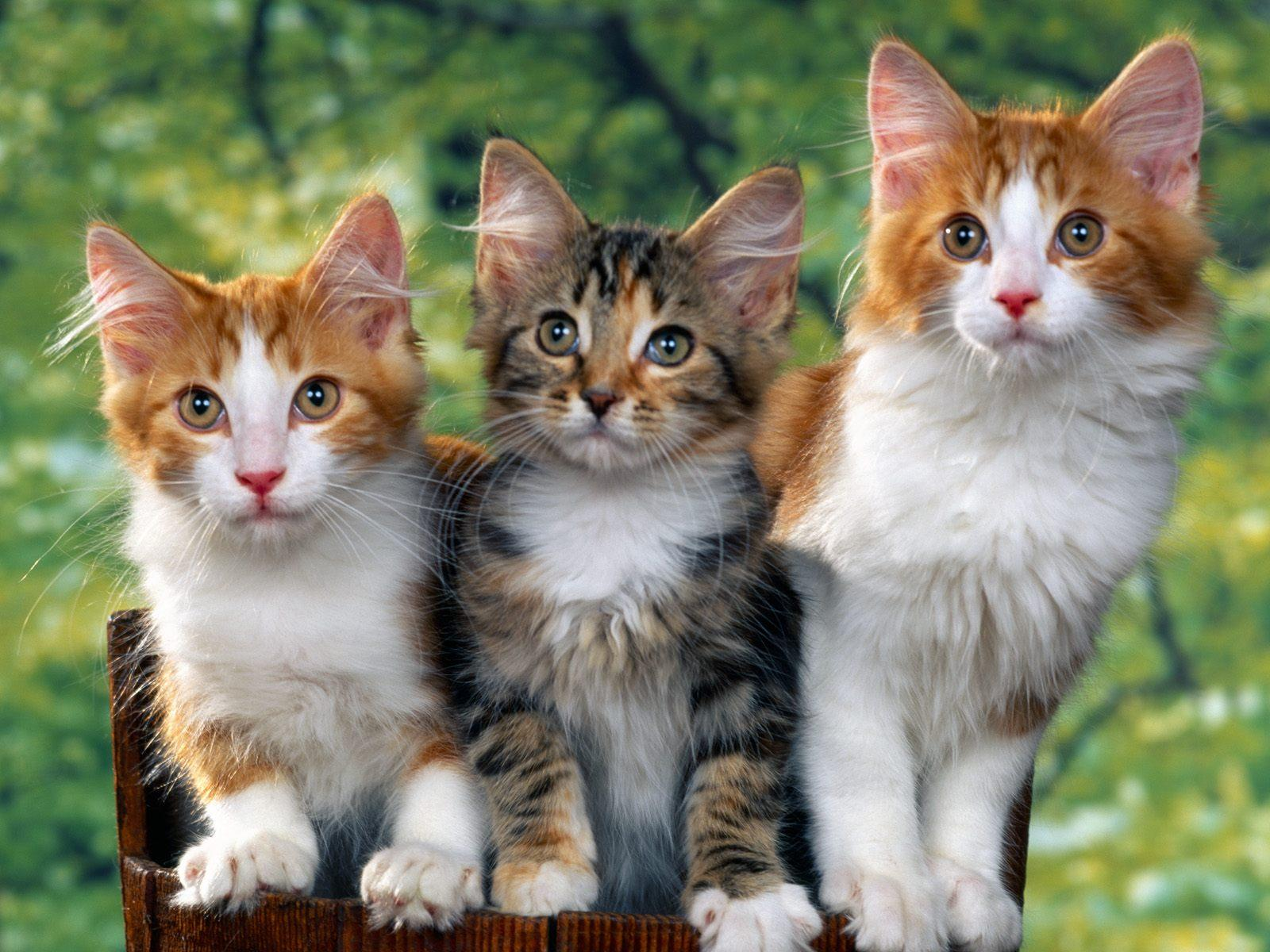 Three-Cute-Kittens