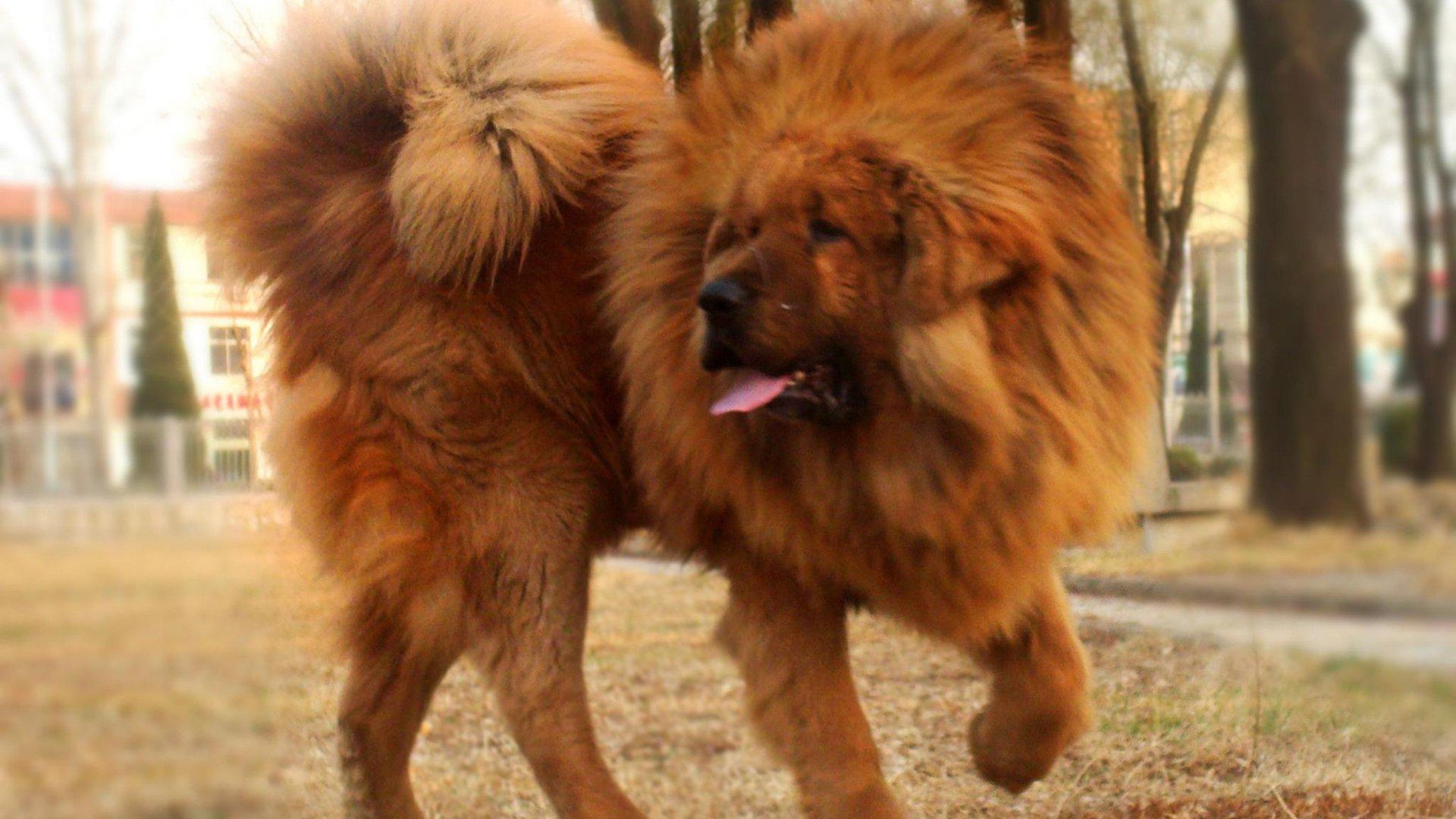 Tibetan Mastiff- Photo#07