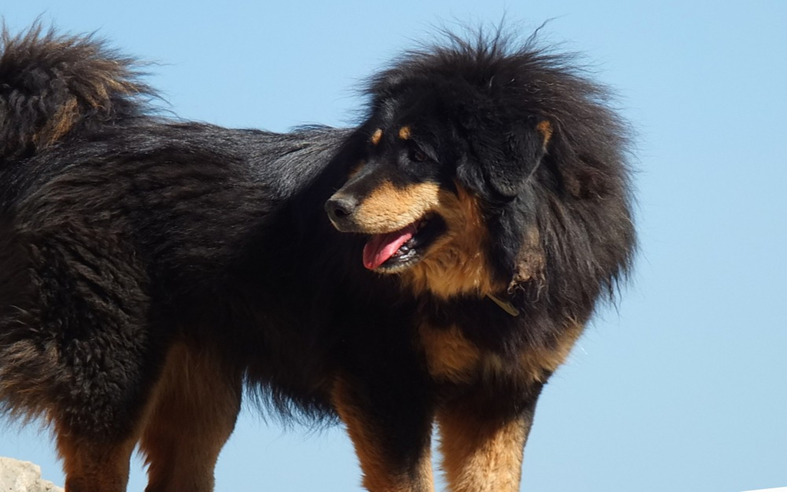 ... top 10 Tibetan Mastiff Desktop Wallpapers. These free downloadable wallpapers are HD and available varying range of sizes and resolutions.