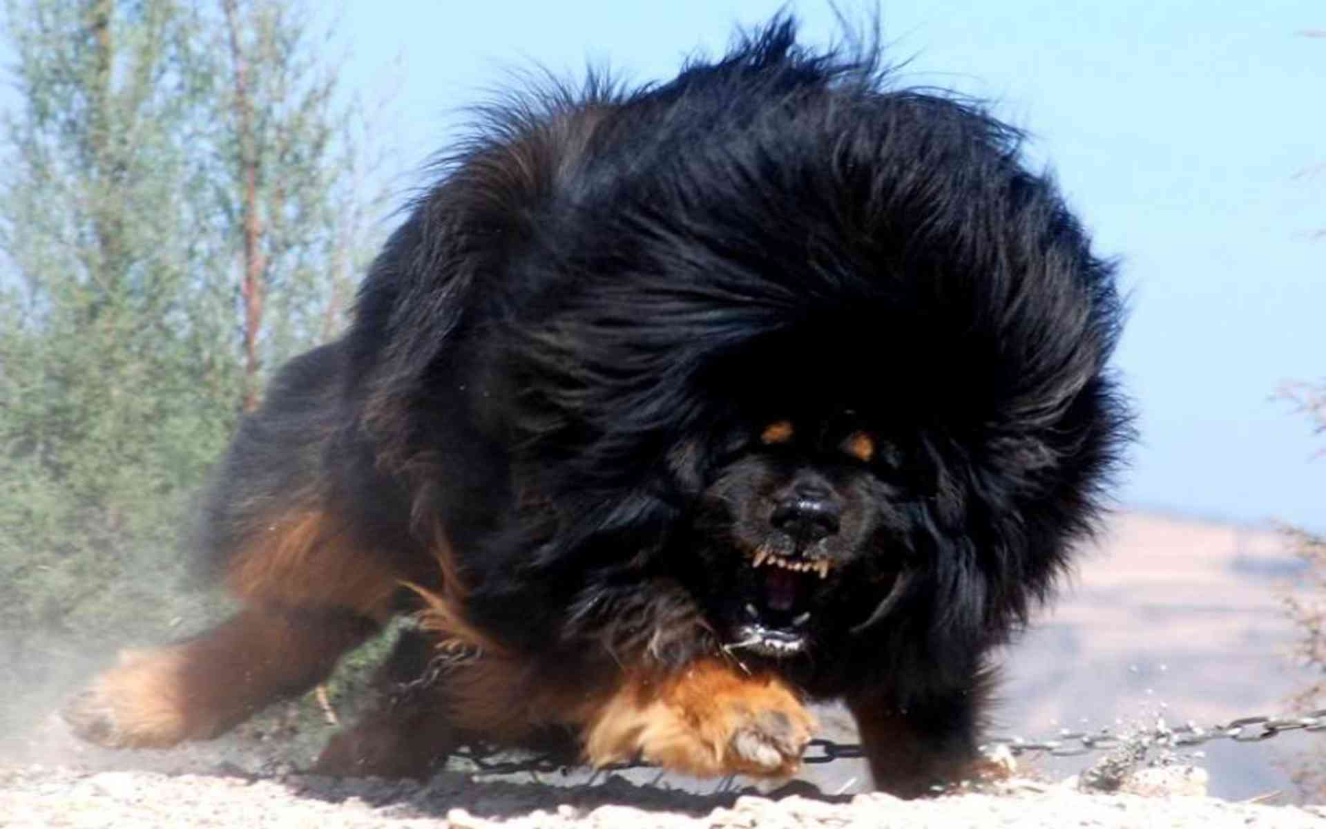 DOWNLOAD: Tibetan Mastiff angry free picture 2560 x 1600