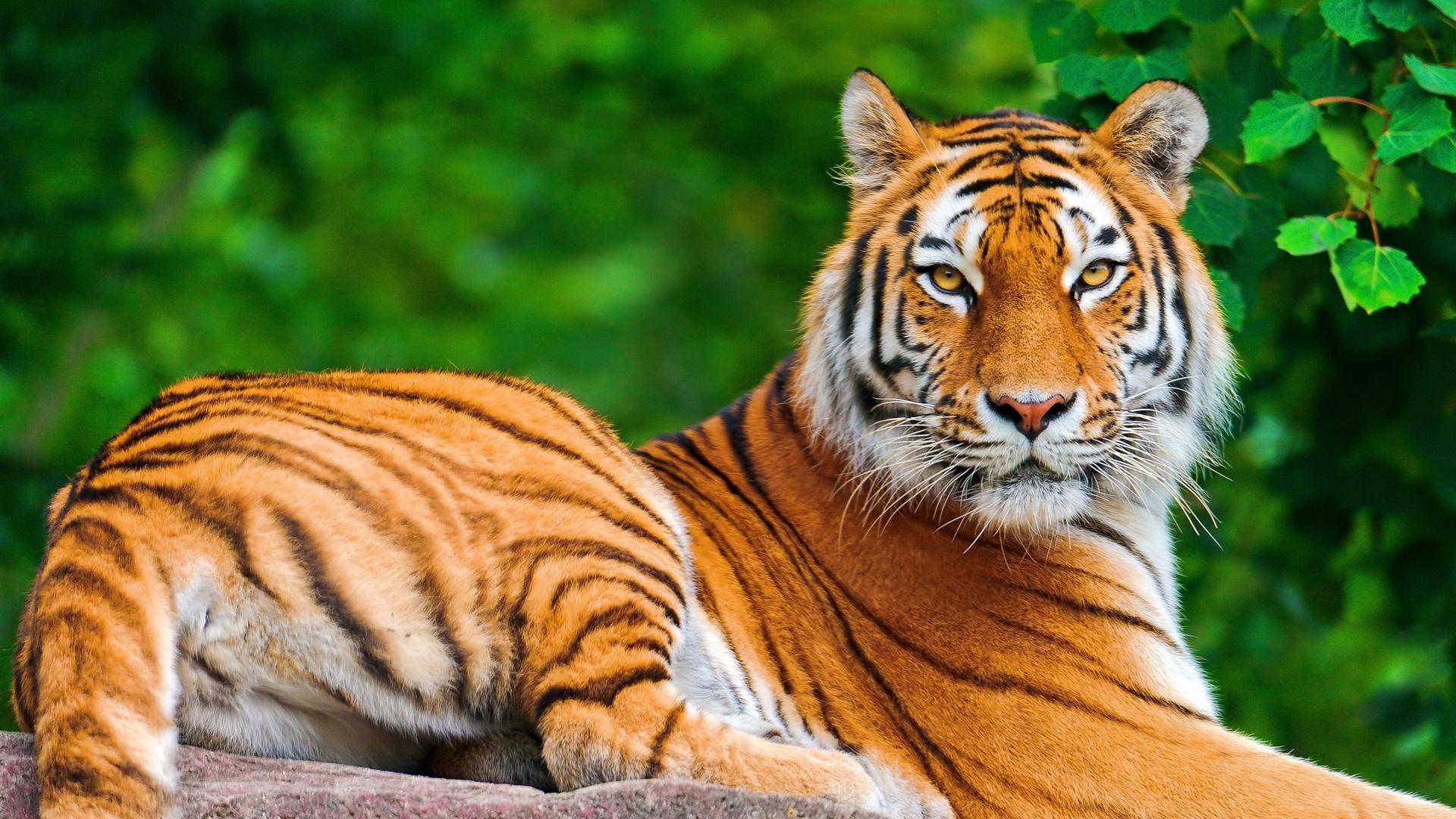 Tiger- Photo#07