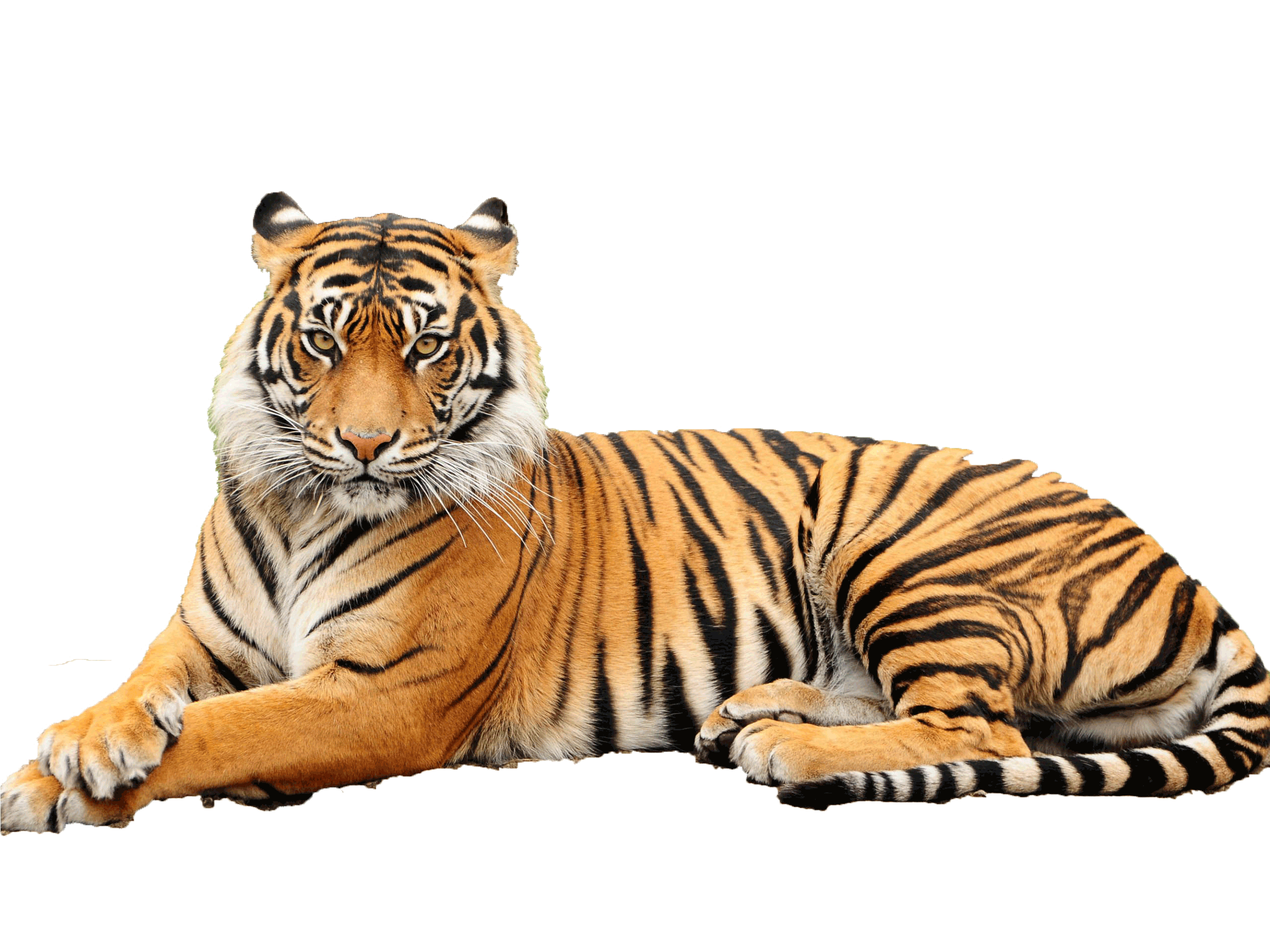Across their range, tigers face unrelenting pressure from poaching, retaliatory killings and habitat loss. They are forced to compete for space with dense ...