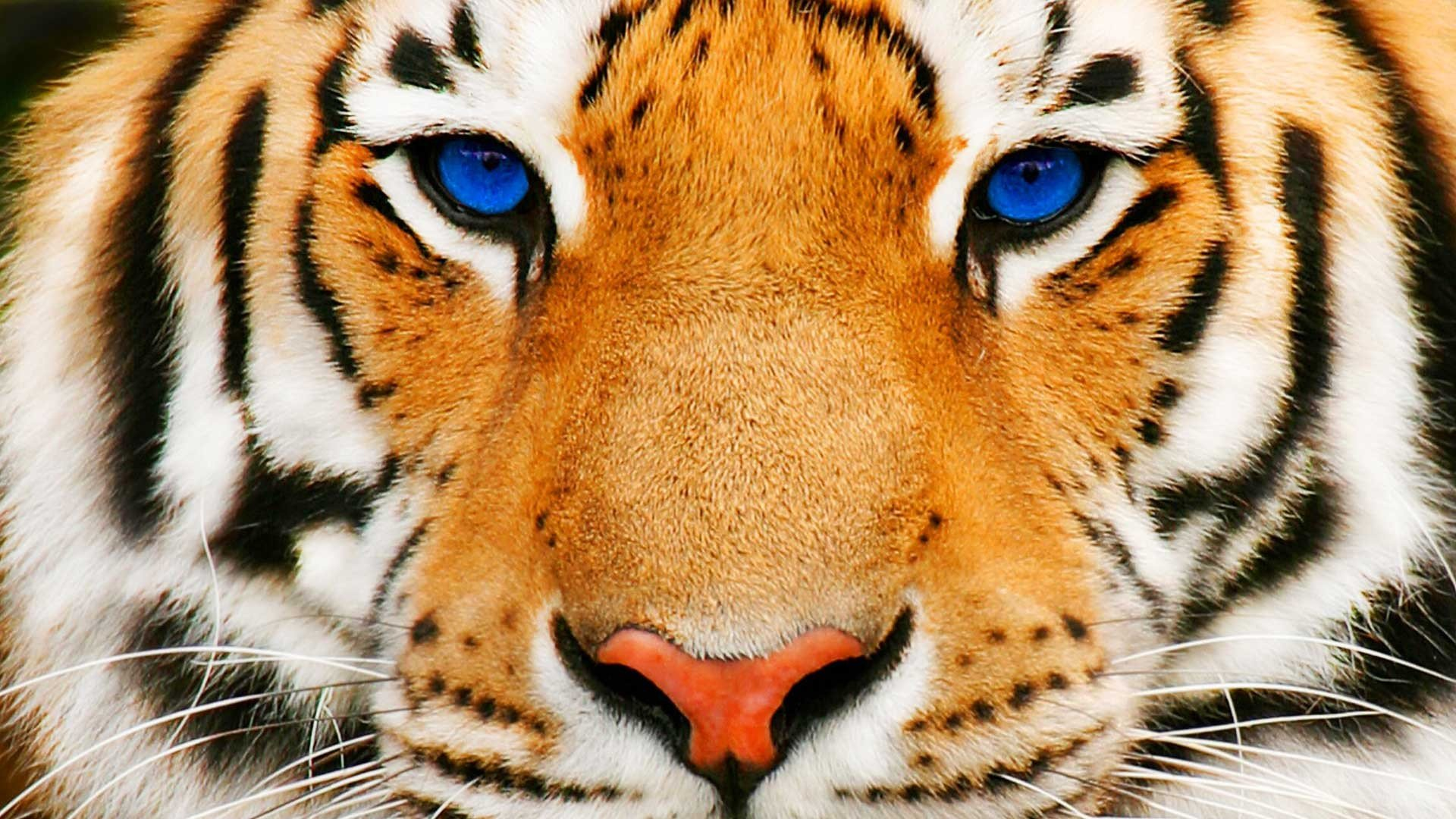 Tiger Face HD