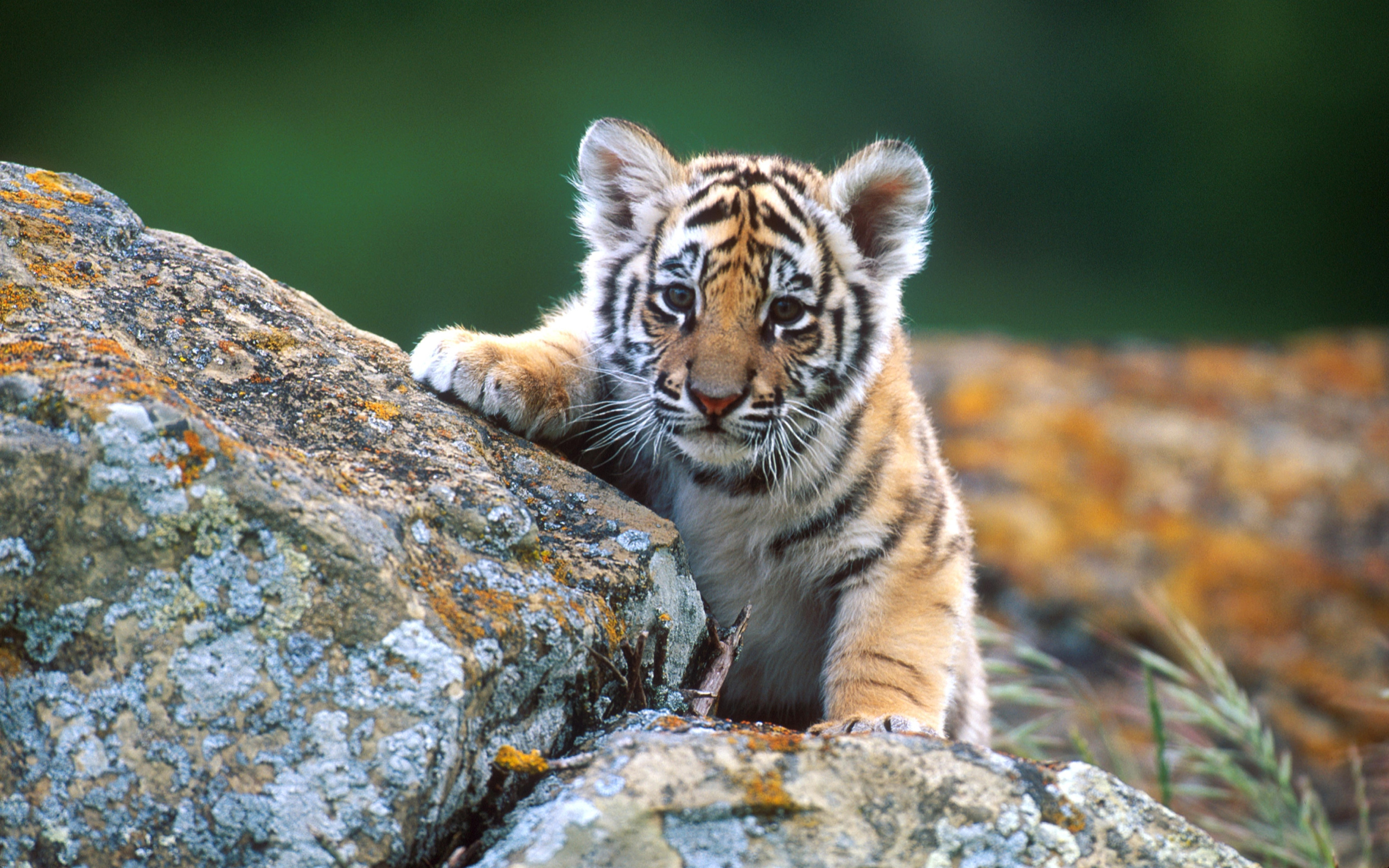 Little Tiger Res: 2560x1600 / Size:1677kb. Views: 106200
