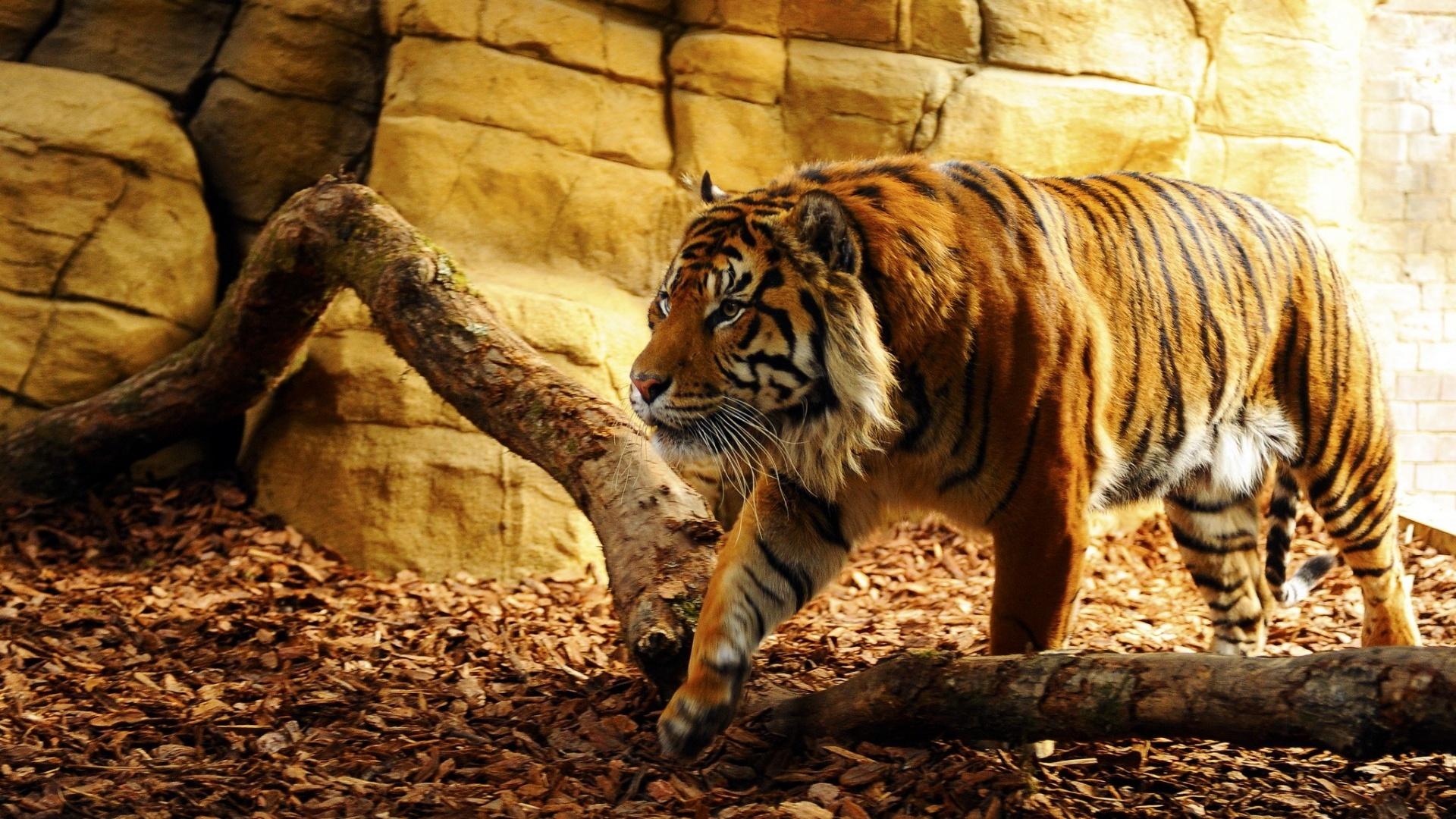 ... Tiger Wallpaper · Tiger Wallpaper