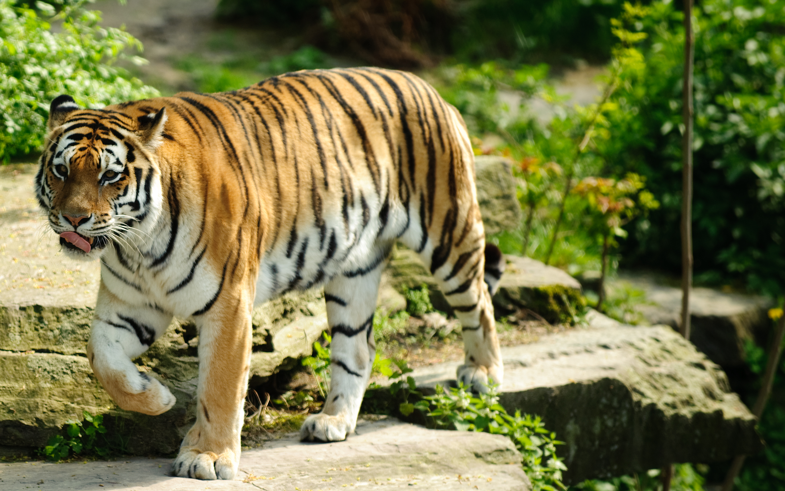 Tiger Day starts an Avaaz petition to close Chinese tiger farms