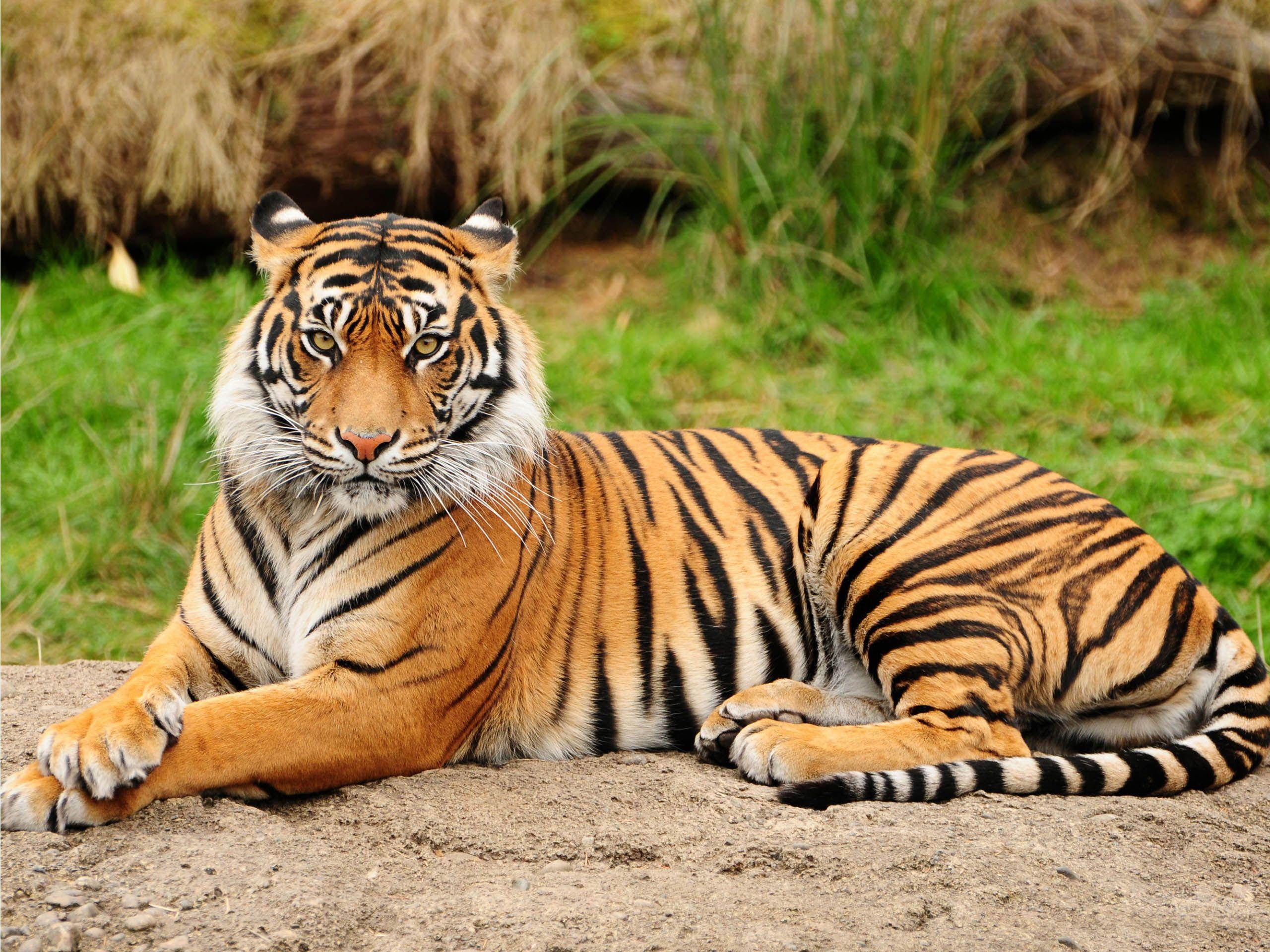 Tiger #02 Image Tiger #03 Image ...