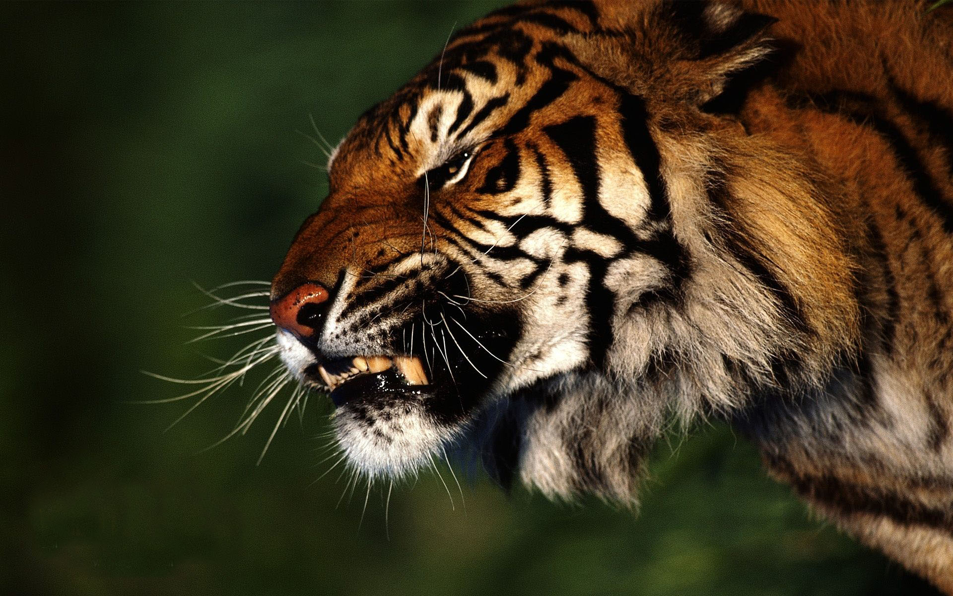 Angry Tiger Wallpaper Angry Tiger wallpapers