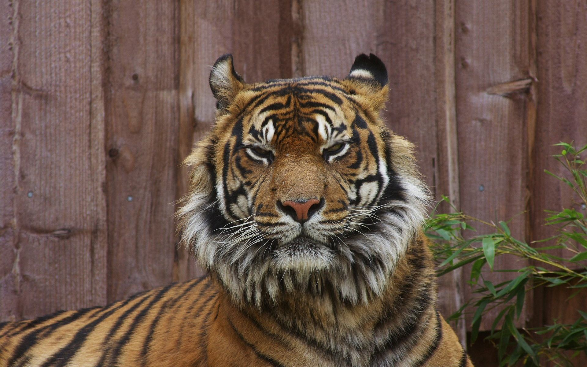 Tiger angry eyes