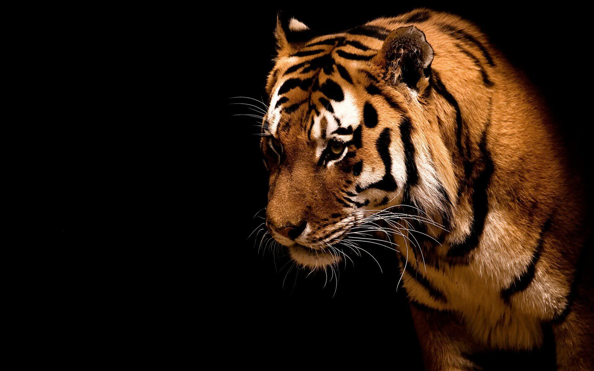Free Download Wallpapers Website Background Hd X Animals Tiger In