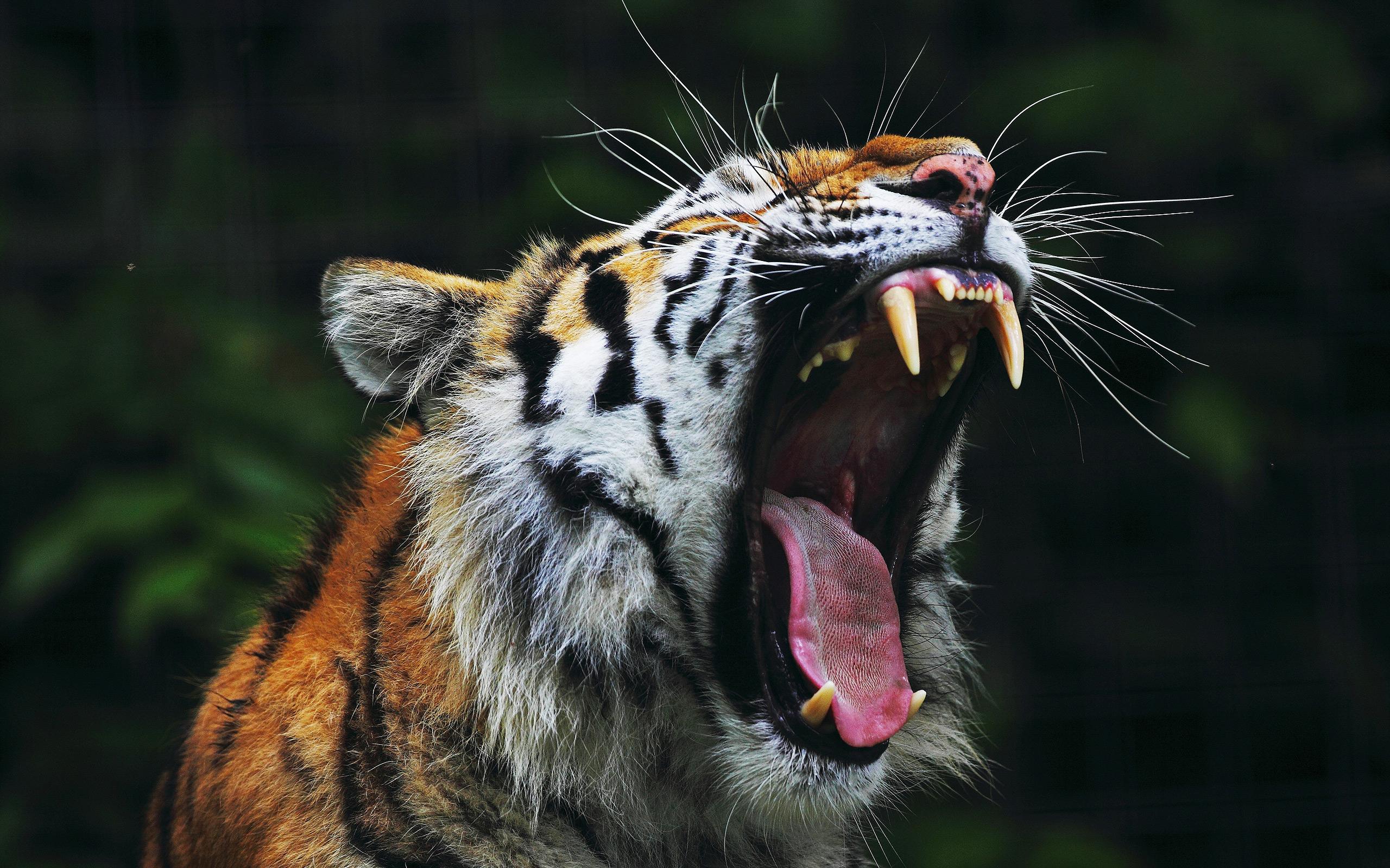 Tiger Big Mouth