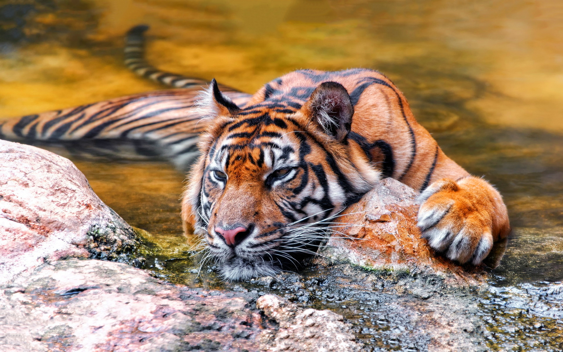 Tiger chill in water