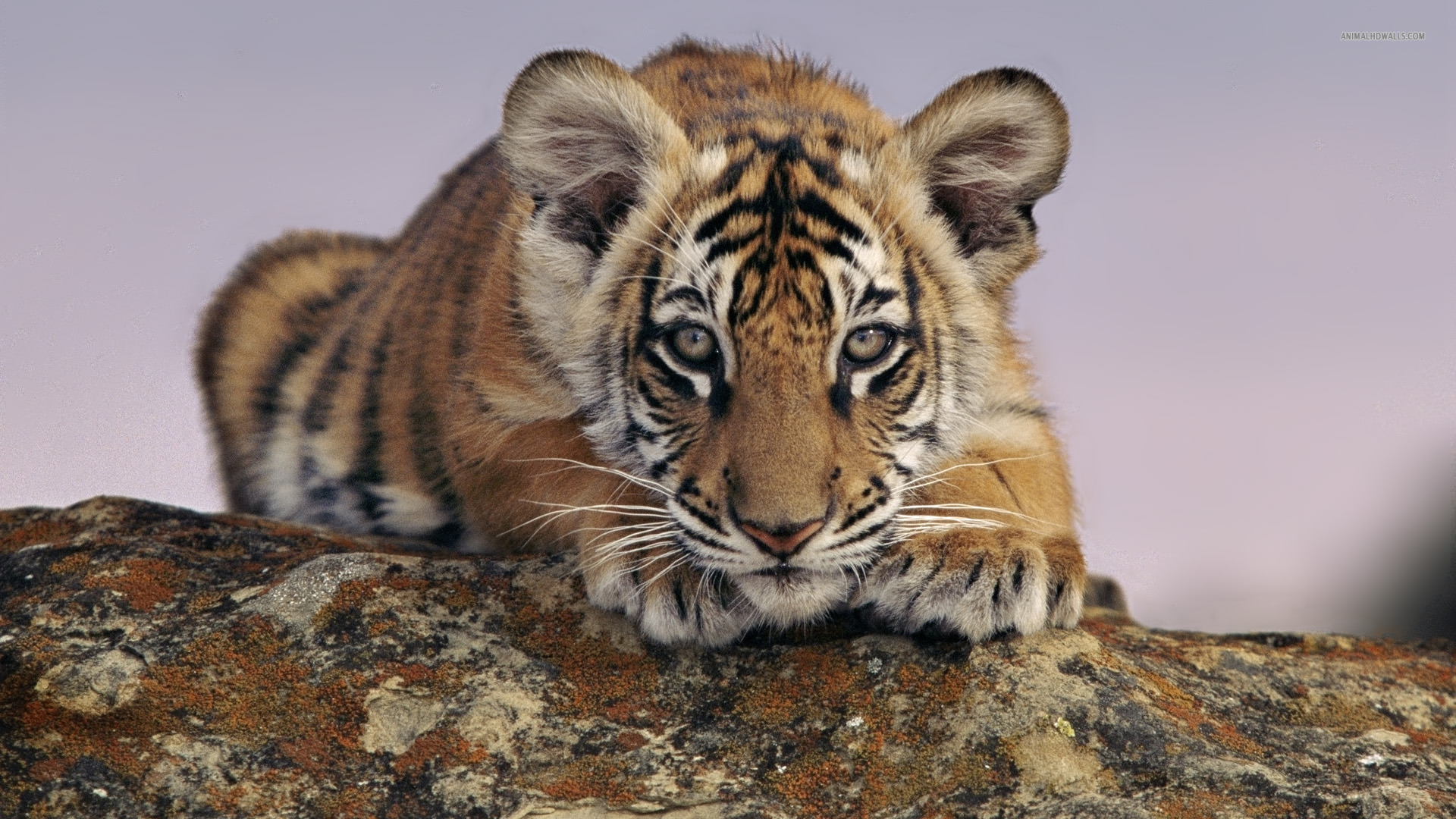 Tiger cub wallpaper 1920x1080