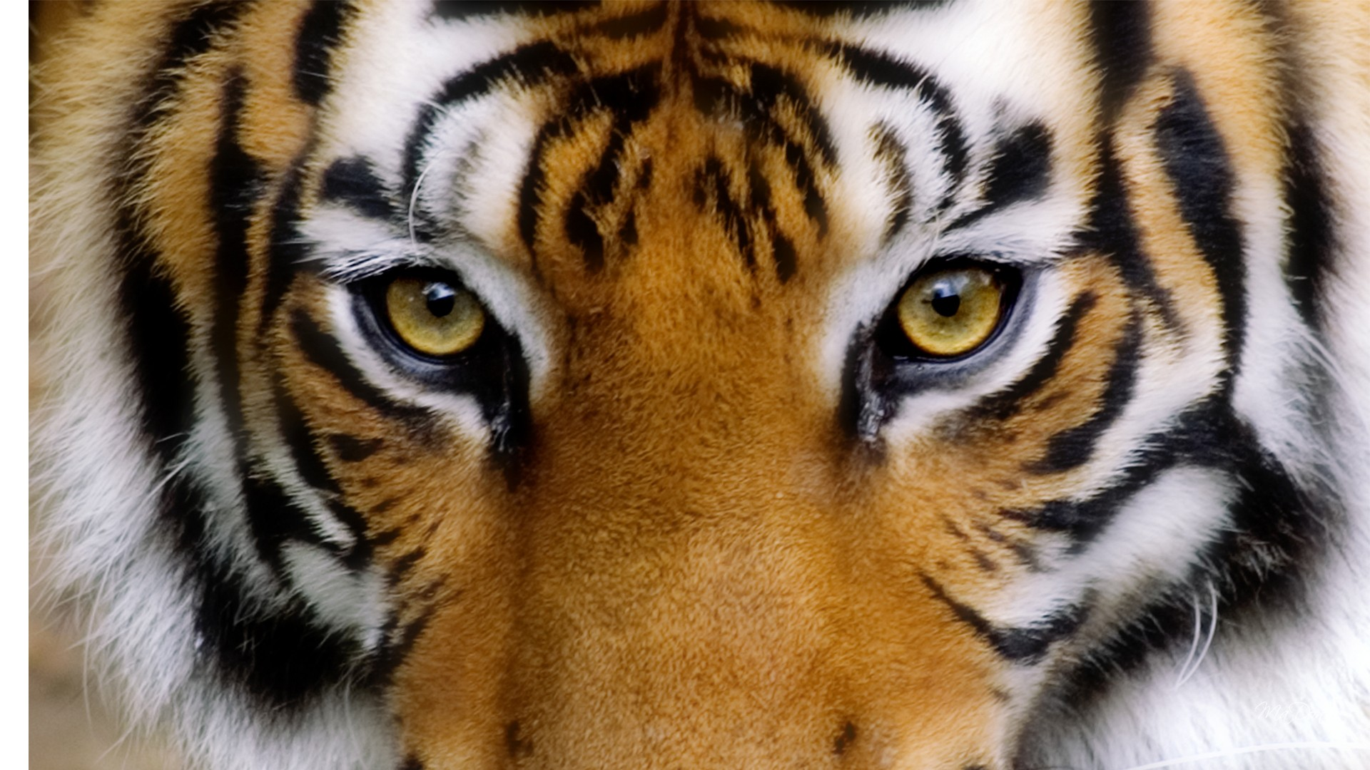 Tiger Eyes Wallpaper