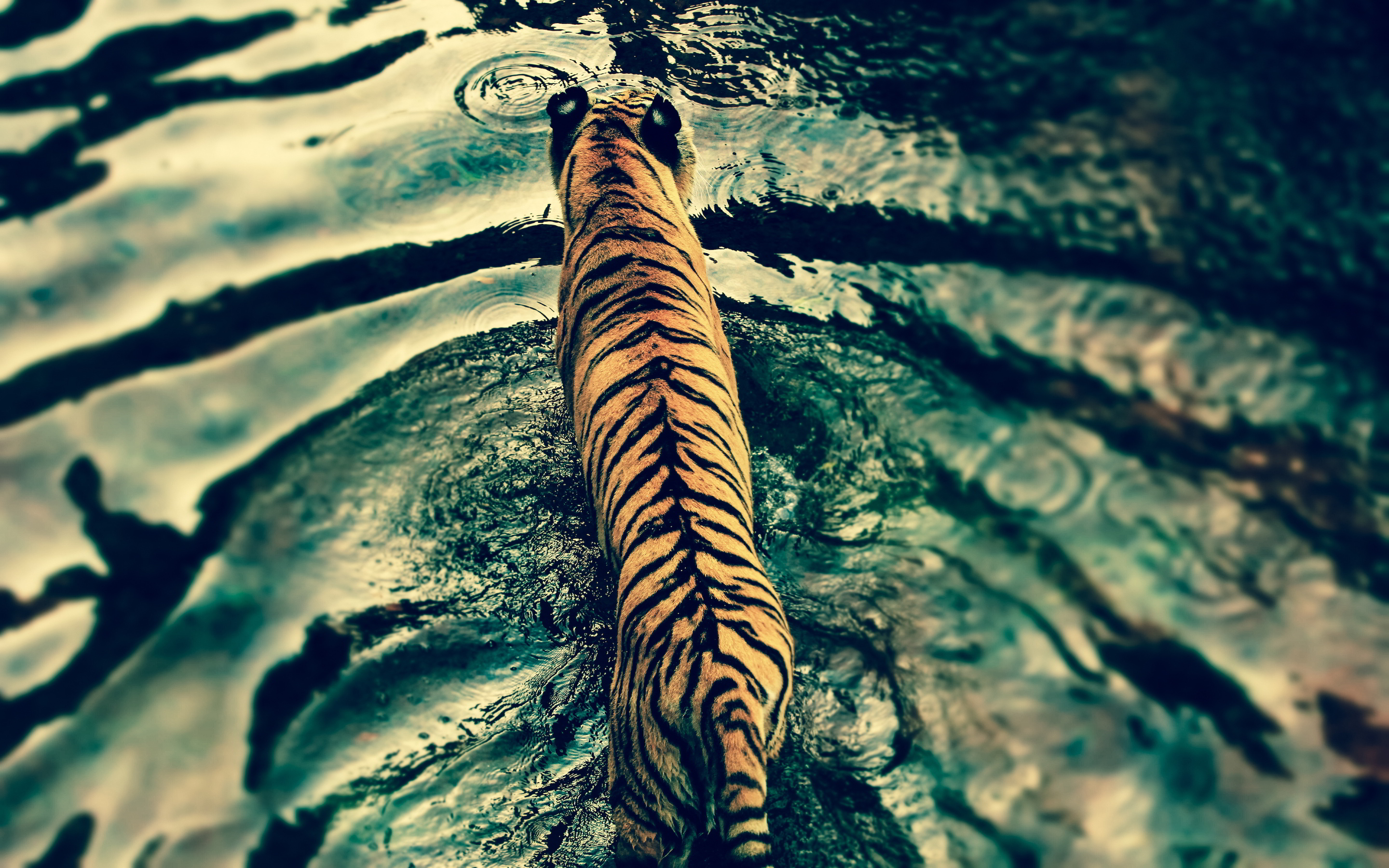 Tiger from above Wallpapers Pictures Photos Images. «