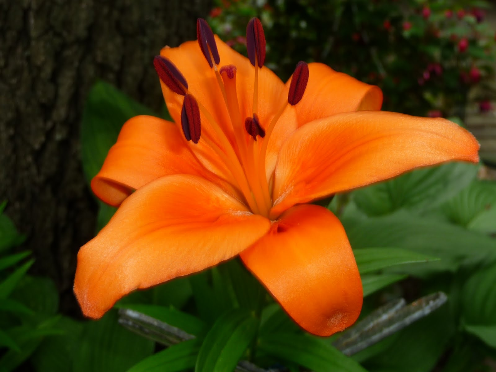 Tiger Lily Flower ...